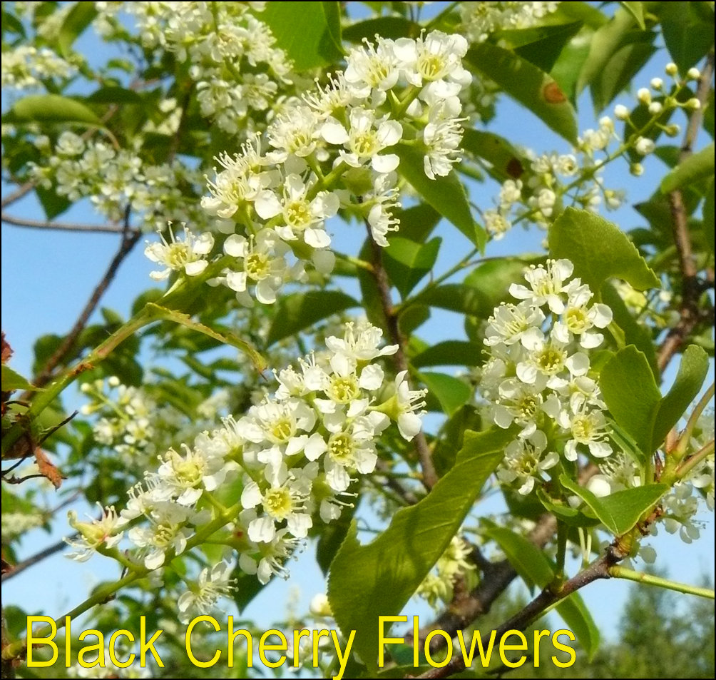 True cherries x leaves of black cherry are 2 6 inches long about an inch to inch and a half wide with a pointed tip most of the season rusty colored fuzz can be found publicscrutiny Gallery