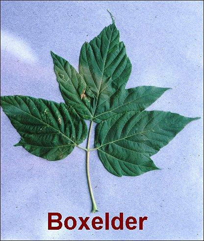 Sugar Red Silver Boxelder X