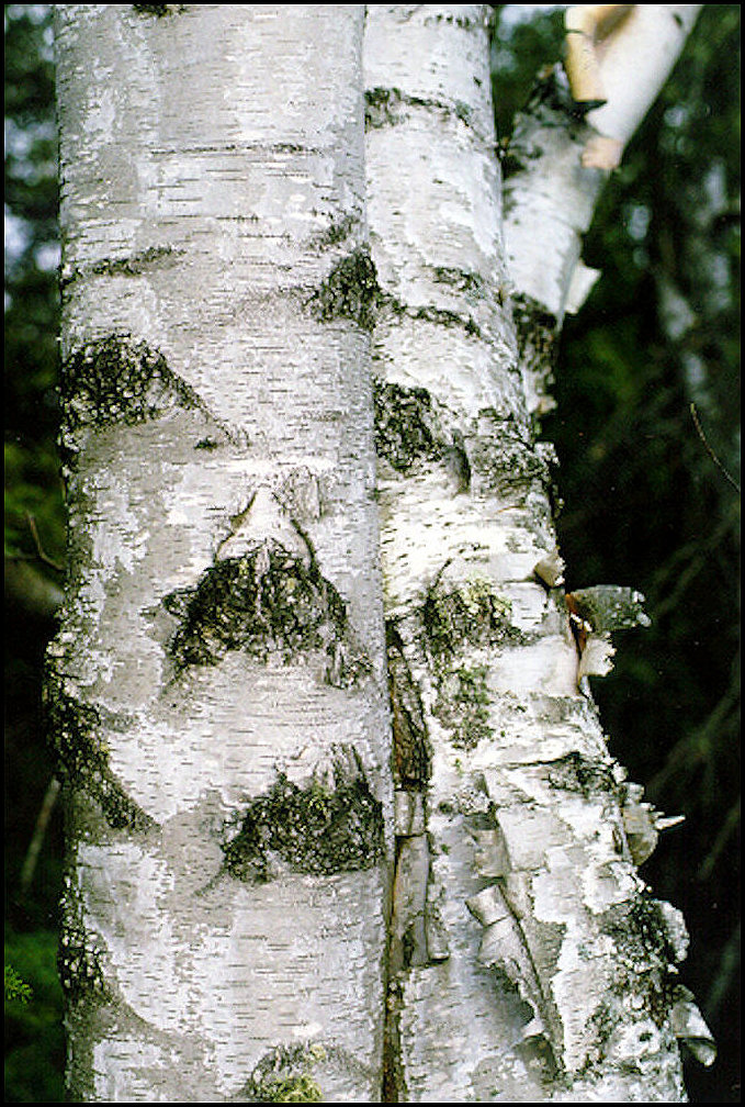 paper birch trees for sale Paper birch (betula papyrifera) the paper birch tree, also known as the white birch is an excellent tree for parks, estates, and large areas the paper birch grows 1 to 2 feet per year over a 10-20 year period the paper birch can reach heights of 50 to 70 feet.