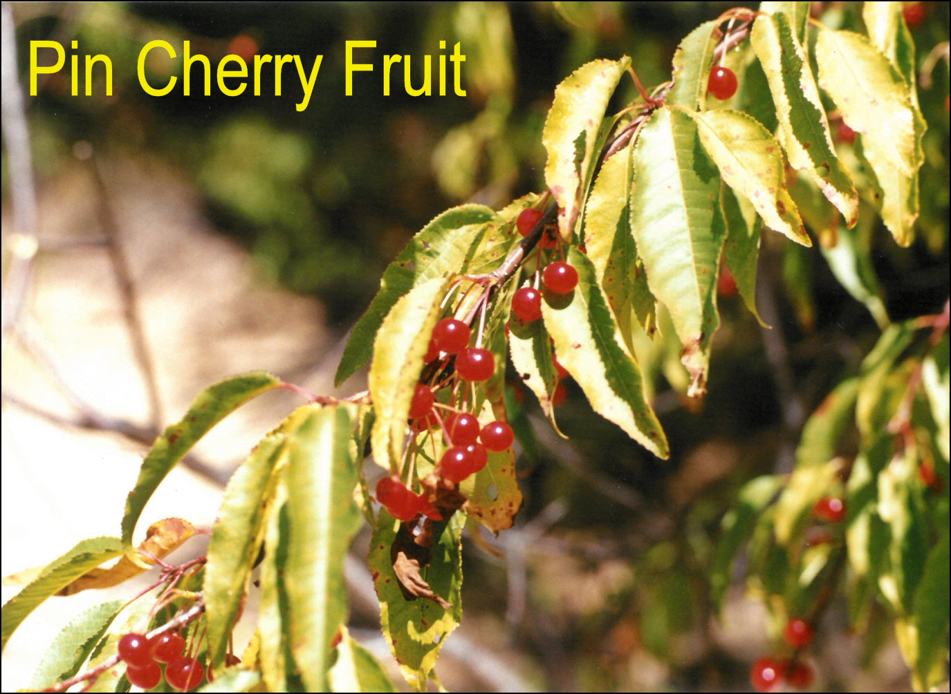 True cherries x leaves are similar to black cherry but usually a bit more elongated and without the rusty fuzz the teeth along the leaf margin are somewhat incurved publicscrutiny Gallery