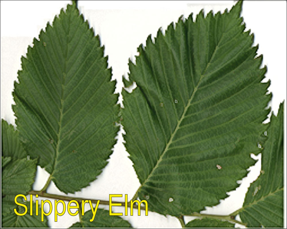 Key ID Features: Leaves, Layered Bark, Inner Bark, Fruits