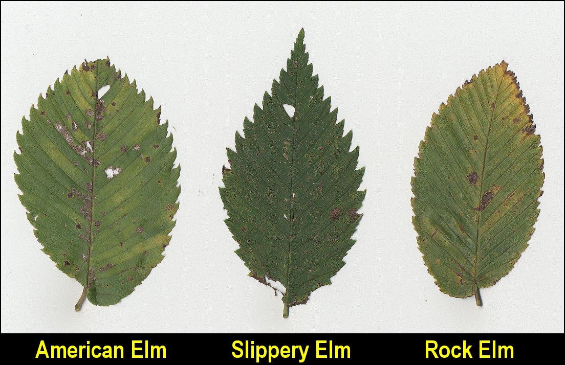 elms hackberry x