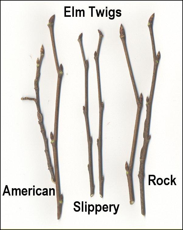 Ulmus Americana Twig Elms, Hackberry (X)