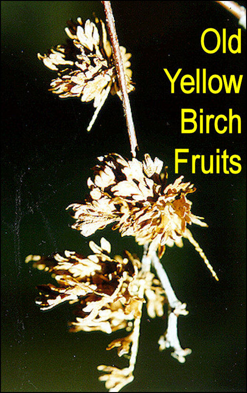 Yellow birch has the